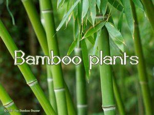 The Bamboo Bazaar - bamboo plants