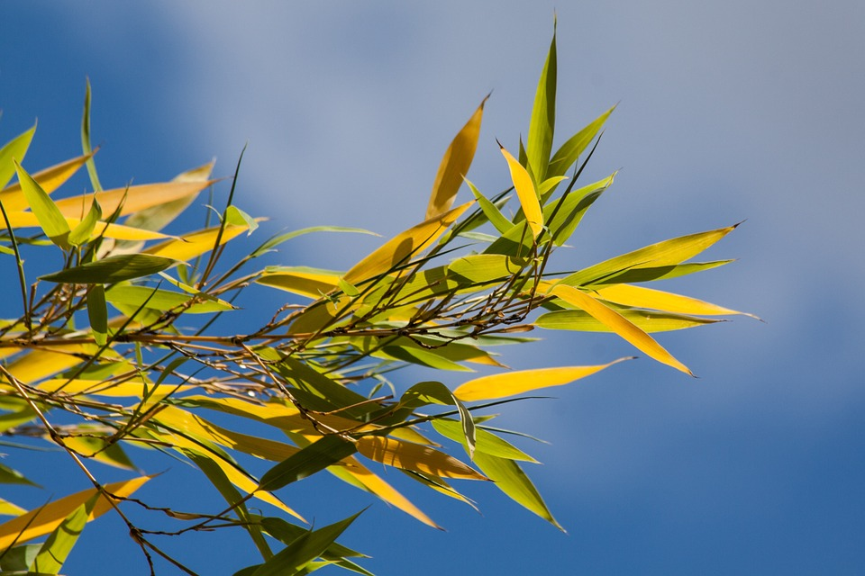 bamboo plant yellow leaves